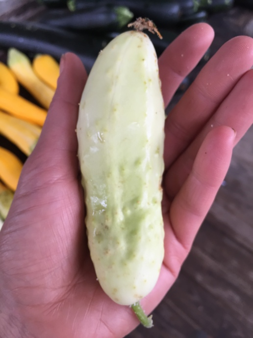 silver_scape_cucumber.JPG